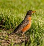 Η αμερικανική Robin στοκ φωτογραφία