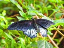 Η λαμπρή μαύρη πεταλούδα άνοιξε φτερωτό Στοκ εικόνες με δικαίωμα ελεύθερης χρήσης