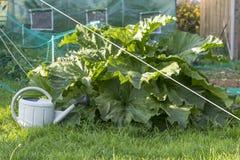 Η ανάπτυξη ρεβεντιού στο φυτικό κήπο, πότισμα μπορεί, greenhous Στοκ Φωτογραφίες