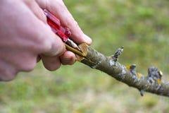 Η ανακαίνιση δέντρων μηλιάς με το μπόλιασμα Στοκ φωτογραφία με δικαίωμα ελεύθερης χρήσης