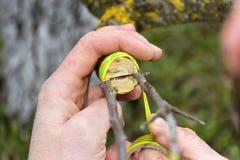 Η ανακαίνιση δέντρων μηλιάς με το μπόλιασμα Στοκ εικόνα με δικαίωμα ελεύθερης χρήσης