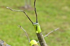 Η ανακαίνιση δέντρων μηλιάς με το μπόλιασμα Στοκ Φωτογραφία