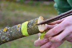 Η ανακαίνιση δέντρων μηλιάς με το μπόλιασμα Στοκ Εικόνα
