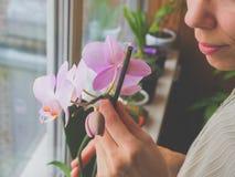 Η αναπαραγωγή των εσωτερικών εγκαταστάσεων Ο θηλυκός κηπουρός κρατά anthurium το λουλούδι Στοκ φωτογραφίες με δικαίωμα ελεύθερης χρήσης