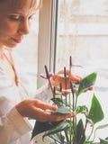 Η αναπαραγωγή των εσωτερικών εγκαταστάσεων Ο θηλυκός κηπουρός κρατά anthurium το λουλούδι Στοκ Φωτογραφία