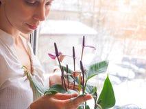 Η αναπαραγωγή των εσωτερικών εγκαταστάσεων Ο θηλυκός κηπουρός κρατά anthurium το λουλούδι Στοκ εικόνες με δικαίωμα ελεύθερης χρήσης