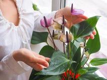 Η αναπαραγωγή των εσωτερικών εγκαταστάσεων Ο θηλυκός κηπουρός κρατά anthurium το λουλούδι Στοκ Φωτογραφίες