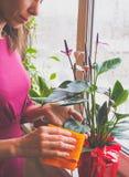 Η αναπαραγωγή των εσωτερικών εγκαταστάσεων Ο θηλυκός κηπουρός κρατά anthurium το λουλούδι Στοκ Εικόνες