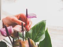 Η αναπαραγωγή των εσωτερικών εγκαταστάσεων Ο θηλυκός κηπουρός κρατά anthurium το λουλούδι Στοκ Εικόνα