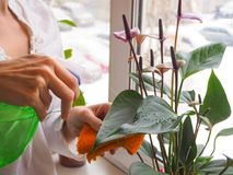 Η αναπαραγωγή των εσωτερικών εγκαταστάσεων Ο θηλυκός κηπουρός κρατά anthurium το λουλούδι Στοκ φωτογραφία με δικαίωμα ελεύθερης χρήσης