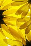 η ανασκόπηση ανθίζει κίτρινο Στοκ Εικόνες