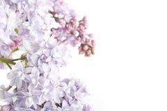 η ανασκόπηση ανθίζει το απομονωμένο ιώδες λευκό δέντρων Στοκ Φωτογραφίες