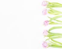 η ανασκόπηση ανθίζει το διανυσματικό λευκό άνοιξη απεικόνισης ρόδινες τουλίπες Στοκ Εικόνες