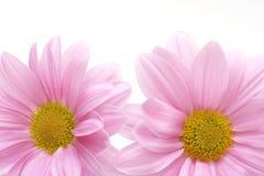 η ανασκόπηση ανθίζει το ροζ Στοκ Εικόνα