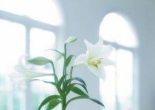 η ανασκόπηση ανθίζει το στιλπνό κρίνο δύο λευκό Στοκ Εικόνες