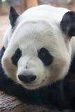 η ανασκόπηση αντέχει το λευκό ύφους panda απεικόνισης κινούμενων σχεδίων Στοκ εικόνα με δικαίωμα ελεύθερης χρήσης