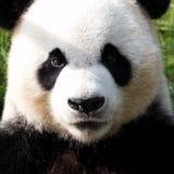 η ανασκόπηση αντέχει το λευκό ύφους panda απεικόνισης κινούμενων σχεδίων Στοκ Φωτογραφία