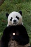 η ανασκόπηση αντέχει το λευκό ύφους panda απεικόνισης κινούμενων σχεδίων Στοκ φωτογραφία με δικαίωμα ελεύθερης χρήσης
