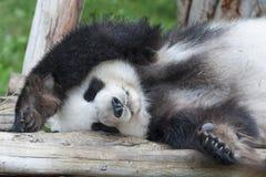 η ανασκόπηση αντέχει το λευκό ύφους panda απεικόνισης κινούμενων σχεδίων Στοκ Φωτογραφίες