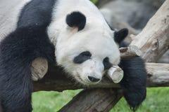 η ανασκόπηση αντέχει το λευκό ύφους panda απεικόνισης κινούμενων σχεδίων Στοκ Εικόνα