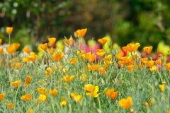 η ανασκόπηση Καλιφόρνια ανθίζει το χρυσό καλοκαίρι παπαρουνών Στοκ εικόνες με δικαίωμα ελεύθερης χρήσης