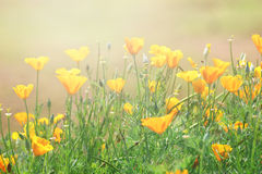 η ανασκόπηση Καλιφόρνια ανθίζει το χρυσό καλοκαίρι παπαρουνών Στοκ φωτογραφία με δικαίωμα ελεύθερης χρήσης