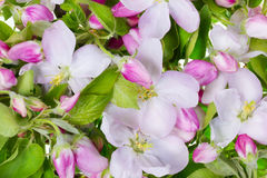 η ανασκόπηση μήλων ανθίζει το ροζ Στοκ φωτογραφίες με δικαίωμα ελεύθερης χρήσης