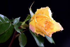 η ανασκόπηση μαύρη αυξήθηκε κίτρινος Στοκ Φωτογραφίες