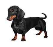 η ανασκόπηση dachshund απομόνωσε τ& Στοκ Εικόνες