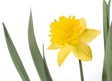 η ανασκόπηση daffodil απομόνωσε ά&sigma στοκ εικόνες με δικαίωμα ελεύθερης χρήσης