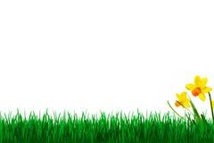 η ανασκόπηση daffodils απομόνωσε τ& Στοκ Φωτογραφίες