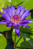 Η ανθίζοντας βιολέτα waterlily ή λουλούδι λωτού στη λίμνη Στοκ Εικόνες
