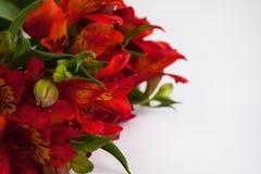 Η ανθοδέσμη κόκκινου Alstroemeria, του περουβιανού κρίνου ή του κρίνου του Incas ανθίζει Υπόβαθρο που απομονώνεται άσπρο, διάστημ στοκ εικόνα