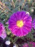 Η ανθοδέσμη λουλουδιών αυξήθηκε βιολέτα φύσης κήπων μαργαριτών Στοκ Φωτογραφίες