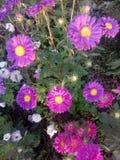Η ανθοδέσμη λουλουδιών αυξήθηκε ιώδης πορφύρα φύσης κήπων μαργαριτών Στοκ Φωτογραφία