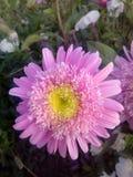 Η ανθοδέσμη λουλουδιών αυξήθηκε φύση κήπων μαργαριτών Στοκ φωτογραφία με δικαίωμα ελεύθερης χρήσης