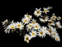 Η ανθοδέσμη της Daisy στο μαύρο υπόβαθρο δηλώνει την αγάπη, την ομορφιά, και τη γονιμότητα στοκ εικόνες με δικαίωμα ελεύθερης χρήσης