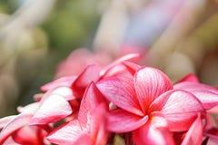 Η ανθοδέσμη των ρόδινων λουλουδιών plumerias Στοκ εικόνα με δικαίωμα ελεύθερης χρήσης