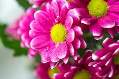 Η ανθοδέσμη των ρόδινων χρυσάνθεμων κλείνει επάνω τα μακρο λουλούδια Στοκ Εικόνα