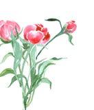 Η ανθοδέσμη των peonies, watercolor, μπορεί να χρησιμοποιηθεί ως ευχετήρια κάρτα, κάρτα πρόσκλησης για το γάμο, διάνυσμα γενεθλίω απεικόνιση αποθεμάτων