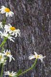 Η ανθοδέσμη Chamomile ανθίζει να βρεθεί στις πλάκες πετρών, μαρμάρινο πιάτο με το άσπρο και κίτρινο λουλούδι Στοκ Εικόνες