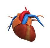 Η ανθρώπινη ανατομία καρδιών της ανθρώπινης καρδιάς άσπρο σε τρισδιάστατο δίνει Στοκ φωτογραφία με δικαίωμα ελεύθερης χρήσης