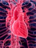 Η ανθρώπινη καρδιά απεικόνιση αποθεμάτων