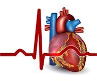 Η ανθρώπινη καρδιά κτύπησε, απομονωμένος στο λευκό διανυσματική απεικόνιση