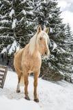 Η ανοικτό καφέ φοράδα Palomino στο χιονώδες δάσος δέντρων πεύκων Jura κερδίζει μέσα Στοκ Εικόνες