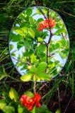Η αντανάκλαση είναι ένα λουλούδι του κυδωνιού στοκ φωτογραφία με δικαίωμα ελεύθερης χρήσης