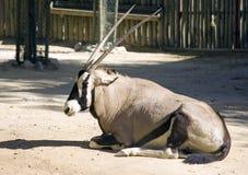 Η αντιλόπη Oryx Στοκ φωτογραφία με δικαίωμα ελεύθερης χρήσης