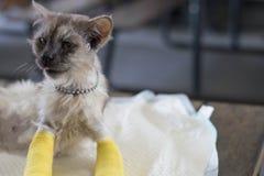 Η ανώτερη γάτα με δύο σπασμένα πόδια κάθεται με τα πόδια που κατσαρώνουν στο τ στοκ εικόνες