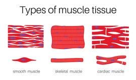 Η απεικόνιση είναι τύποι ιστών μυών ελεύθερη απεικόνιση δικαιώματος