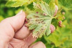 Η αποικία των πράσινων aphids και η ζημία που προκαλείται από το σε ένα φύλλο των σταφίδων βρίσκονται σε ετοιμότητα Στοκ Εικόνα
